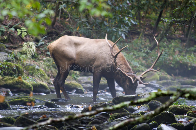 Elk Drinking Water. From a Creek in the Wild stock photography
