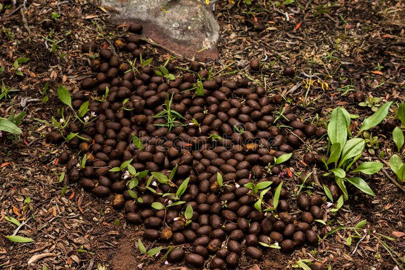 Elk Droppings. Showing Relative Size Next to Leafy Plants stock photo