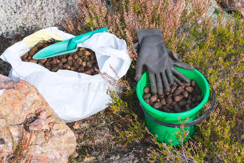 Elk droppings picked in a bag and bucket in the forest.  stock photo