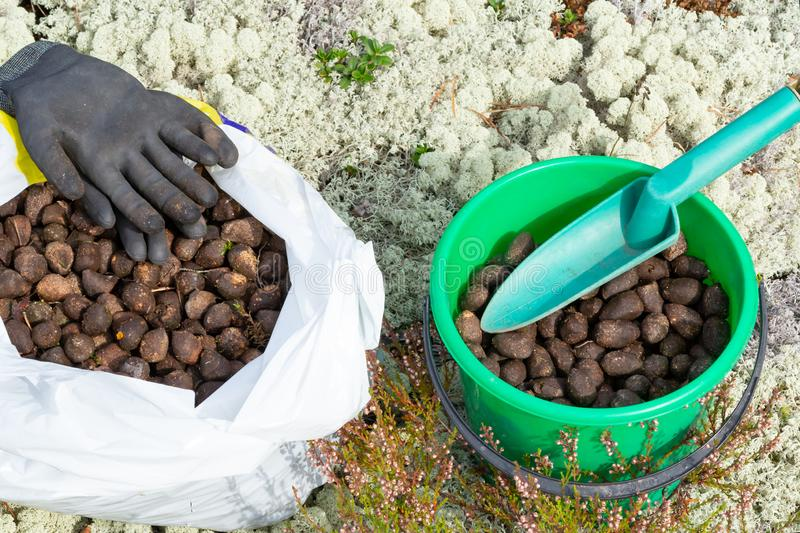 Elk droppings picked in a bag and bucket in the forest.  royalty free stock image
