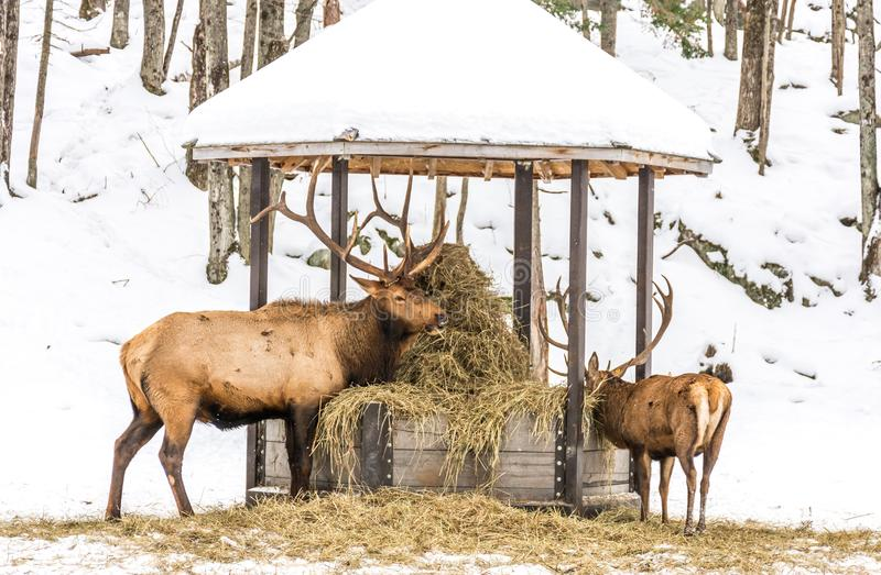 Elk Eating Hay With a Youngster. Elk Eating Hay With a Youngster at Omega Park, Quebec, Canada stock images