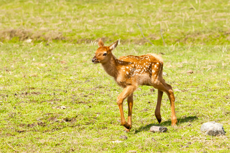 Elk Fawn Stock Photo