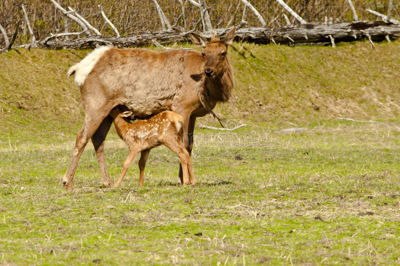 Download Elk Fawn Nuring stock image. Image of feeding, meadow - 25281123