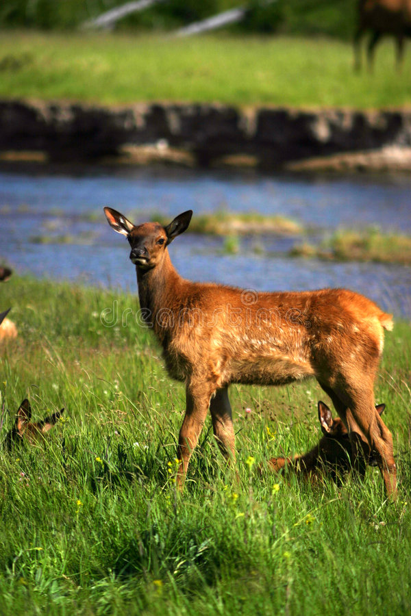 Download Elk fawn yellowstone stock image. Image of park, fawn, mountain - 271647