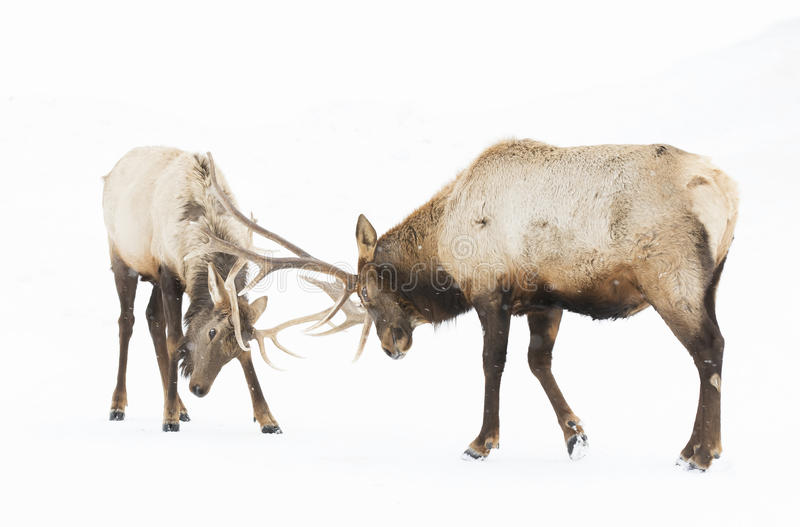Elk fighting in the snow royalty free stock images
