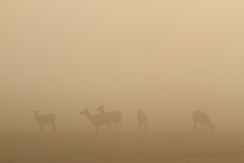 Download Elk in fog stock photo. Image of mammal, wildlife, grand - 25192774