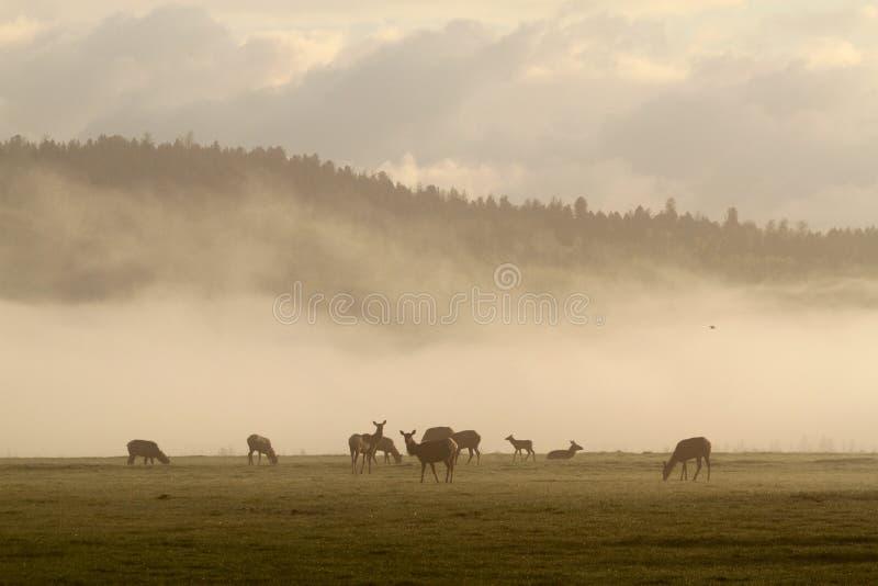Elk In Fog Royalty Free Stock Photo