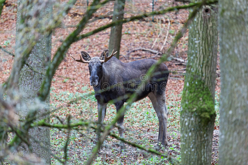Elk in Forest. Young elk in Germany forest royalty free stock photos