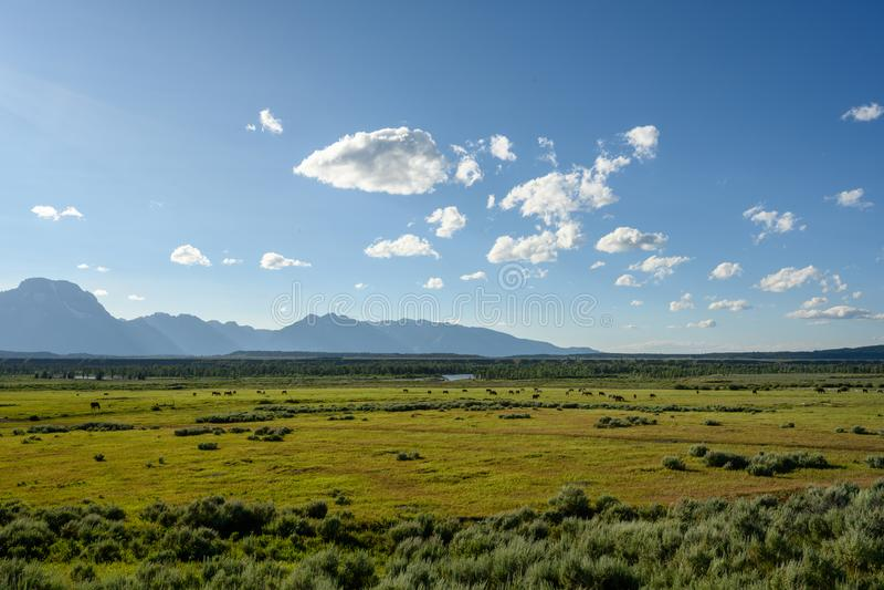 Elk Graze im Grünen Feld außerhalb der Tetons lizenzfreies stockfoto