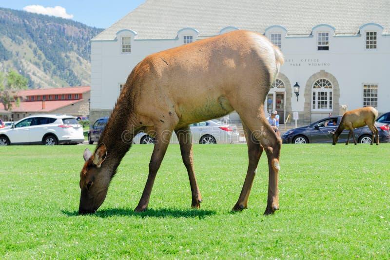 Elk grazing in Mammoth, Wyoming royalty free stock photo