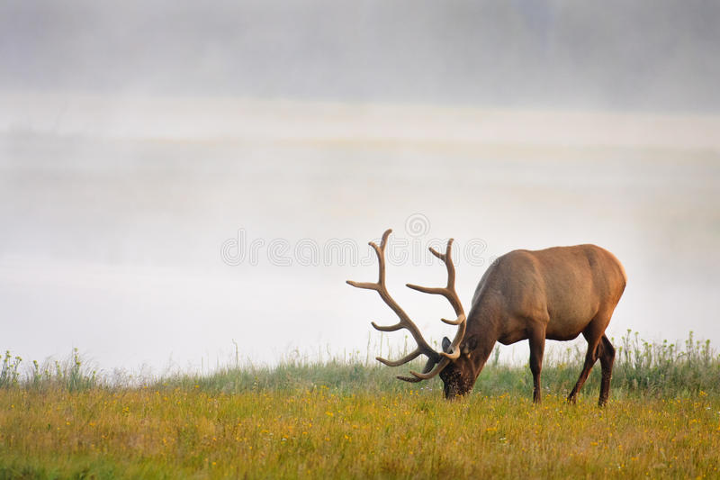 Elk Grazing Near River royalty free stock photography