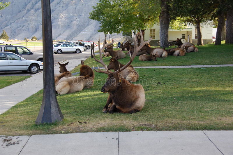 Elk Hanging out at the Visitors Center stock photos