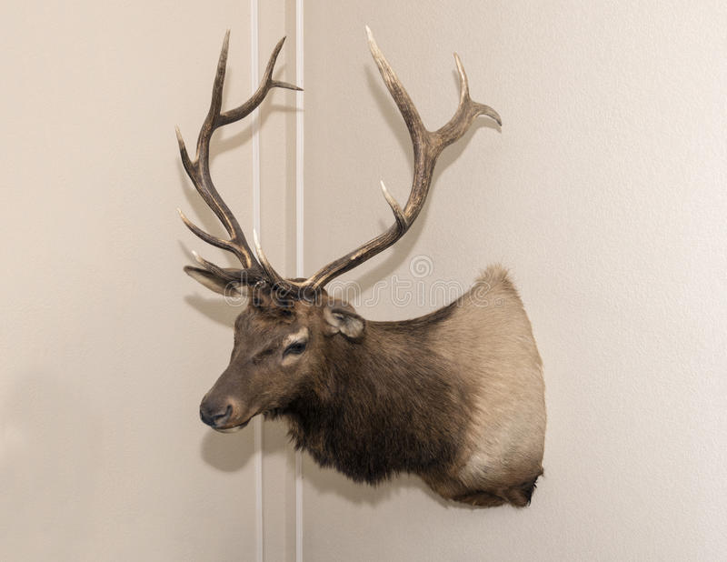 Elk head mounted on a wall royalty free stock image
