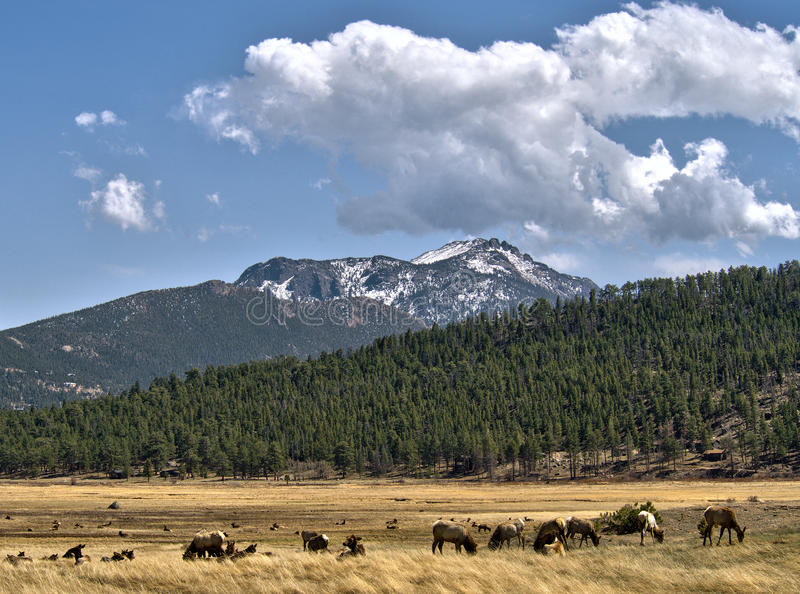 Elk herd and Rocky Mountain National Park Vista royalty free stock photo