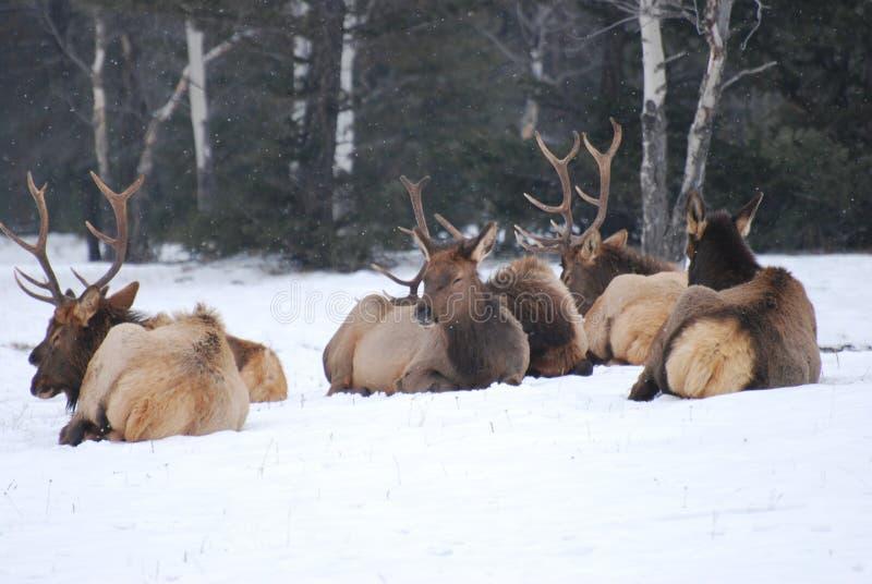 Download Elk herd in the snow stock image. Image of quadruped - 22727729