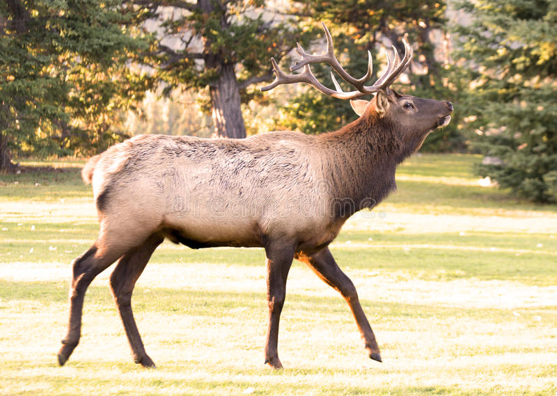 Elk in Jasper, Alberta stock photography
