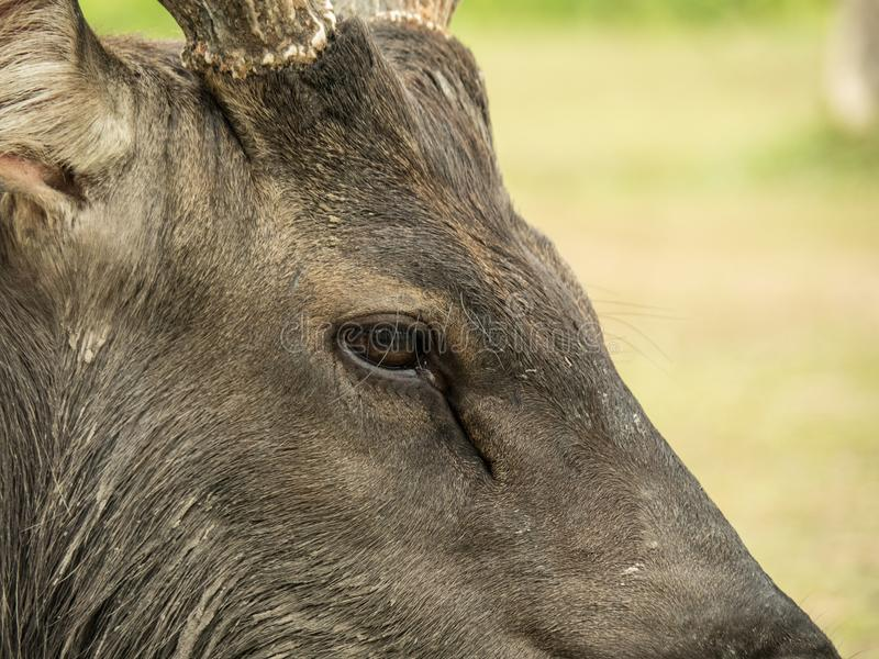 Elk is in Lamtaklong, Khaoyai, Thailand. An elk is sitting in Lamtaklong, Khaoyai, Thailand. it is not scared by human royalty free stock images