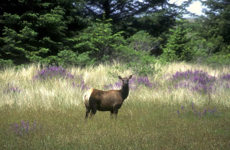 Elk in a Meadow. A cow Elk feeding in a meadow at Prairie Creek Redwoods State Park in northern California stock image