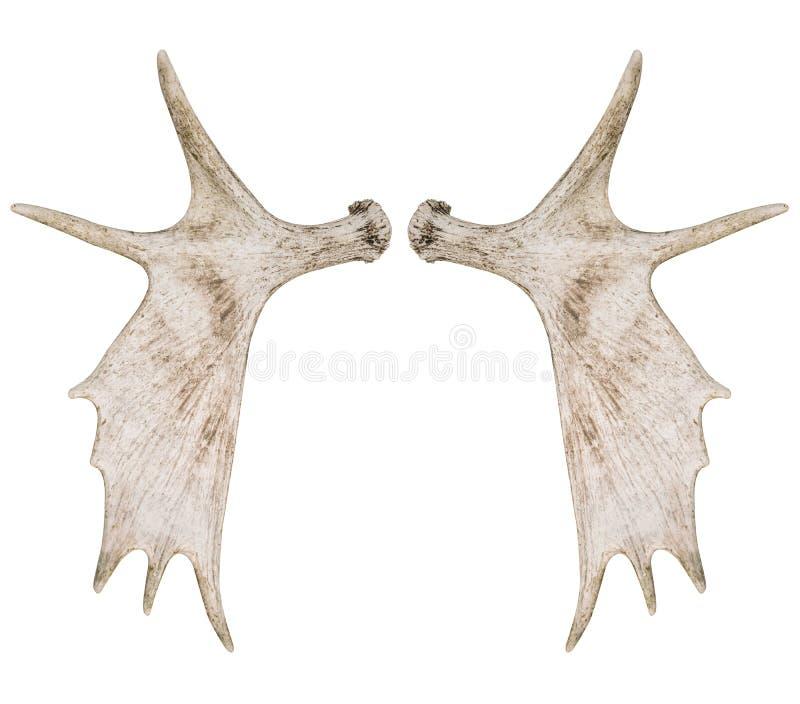 Elk moose antlers stock photo