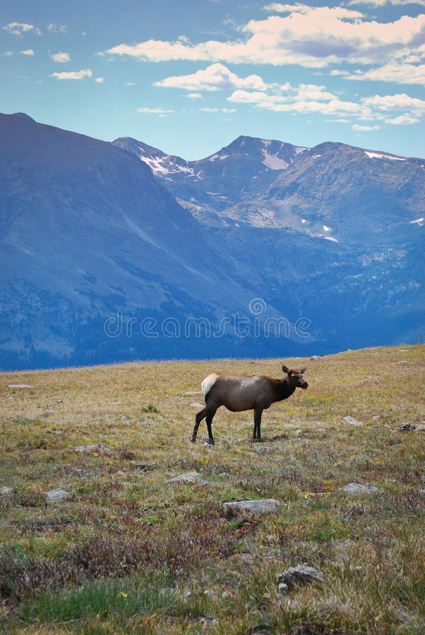 Elk in mountains stock photography