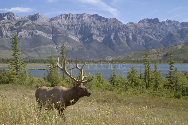Elk in the mountains stock images