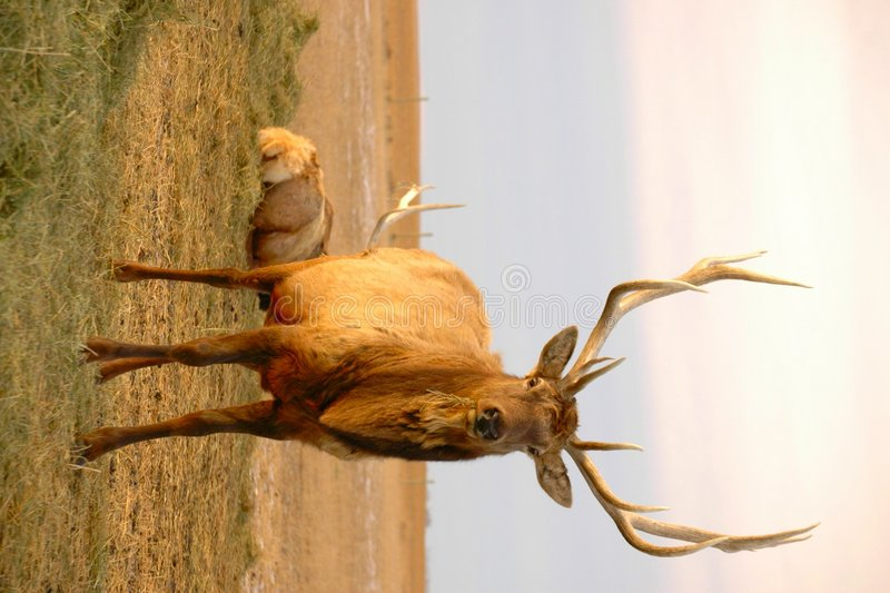 Download Elk Munching on Straw stock image. Image of canada, horns - 463231