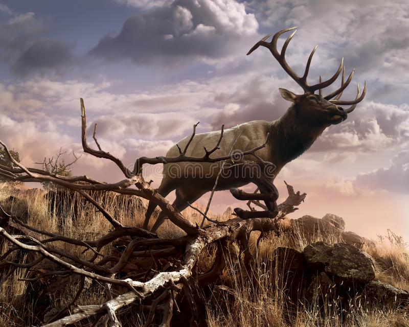 Elk Passage. A majestic elk leaps gracefully down a rugged hillside in the warm evening sunlight