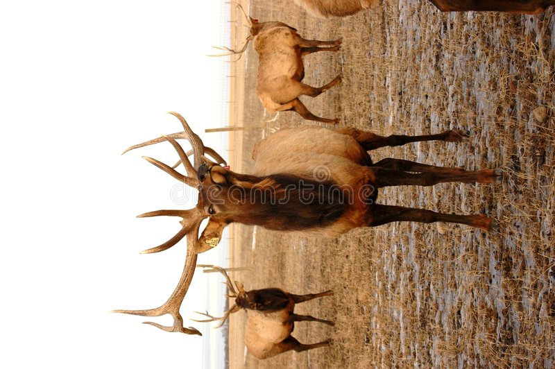Download Elk Posing stock photo. Image of buck, horns, hunter, stag - 463232
