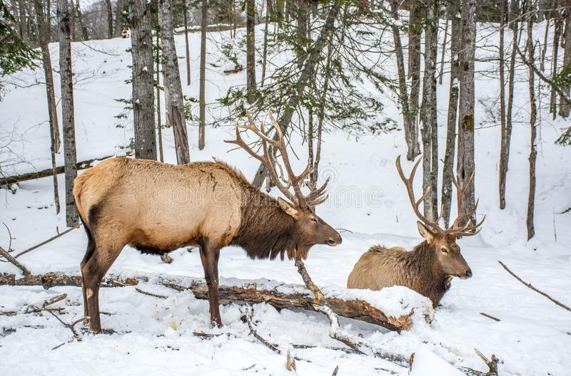 Elk Rattling Next to His Friend. At Omega Park, Montebello, Quebec, Canada royalty free stock photography