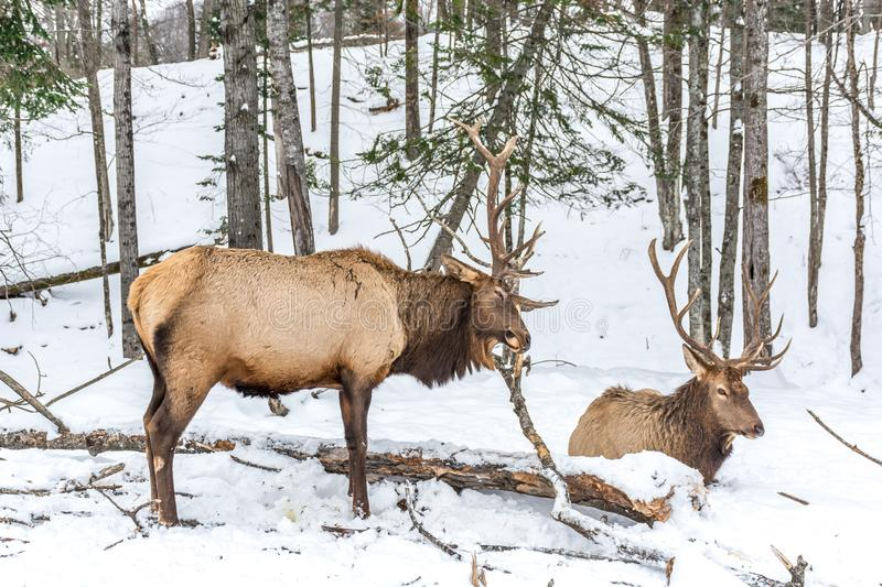 Elk Rattling Next to His Friend. At Omega Park, Quebec, Canada royalty free stock images