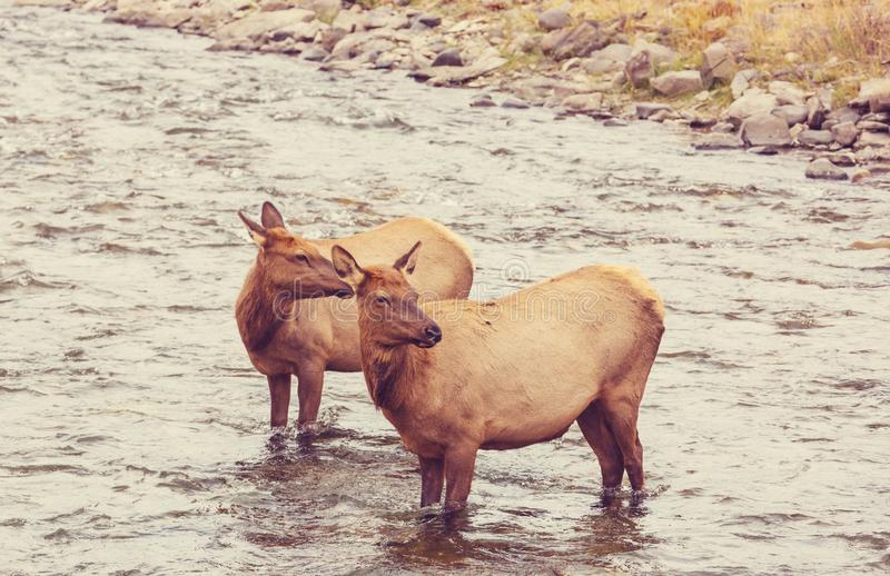 Elk in the river stock images