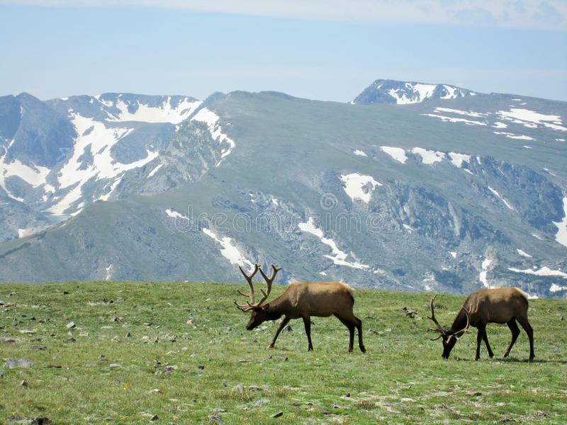 Elk in Rocky Mountain National Park. Pair of elk in Rocky Mountain National Park, Colorado royalty free stock photo