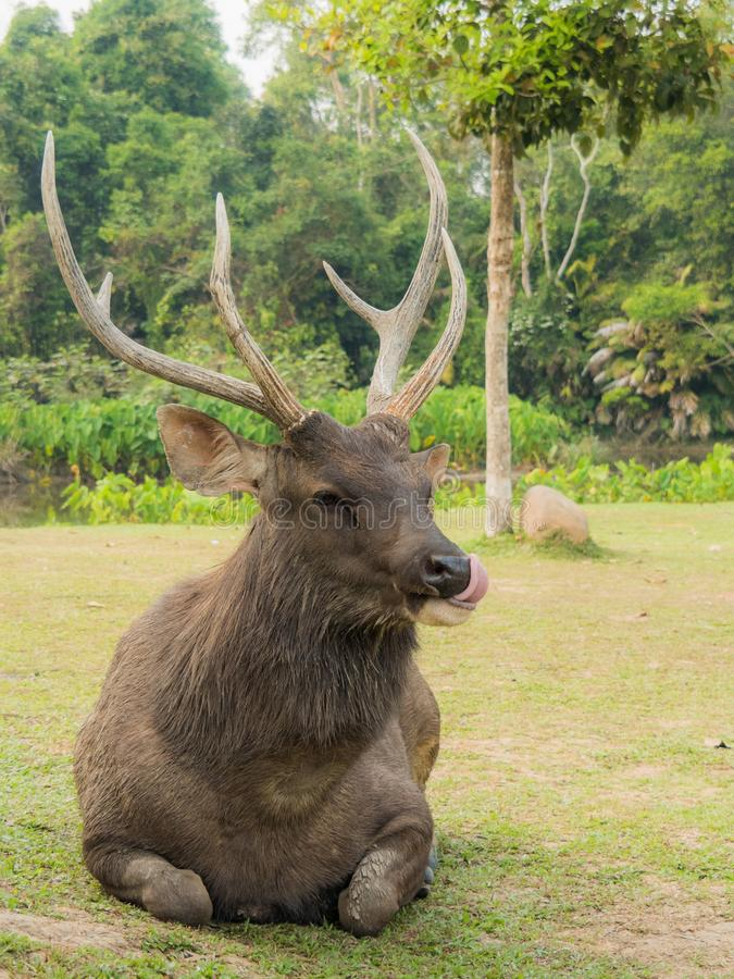 Elk is in Lamtaklong, Khaoyai, Thailand. An elk is sitting in Lamtaklong, Khaoyai, Thailand. it is not scared by human royalty free stock photos