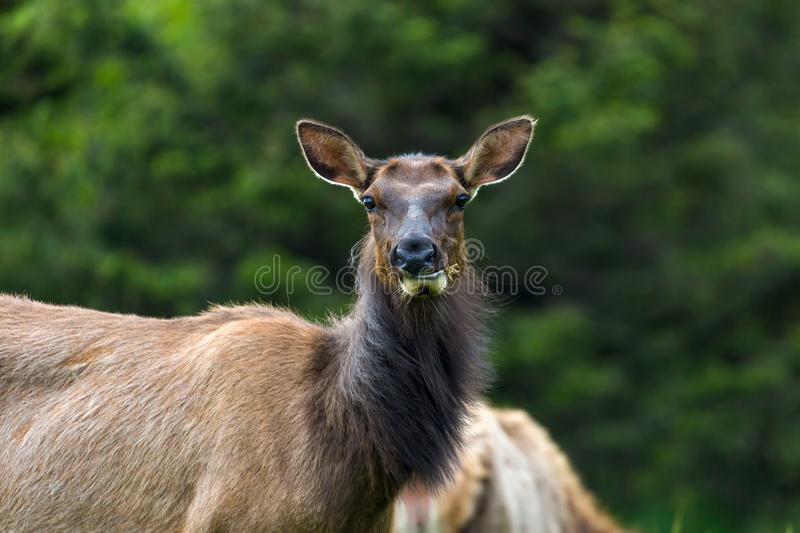 Elk Staring Closeup Portrait. Elk staring while grazing at Ecola State Park in Cannon Beach Oregon Coast stock photography