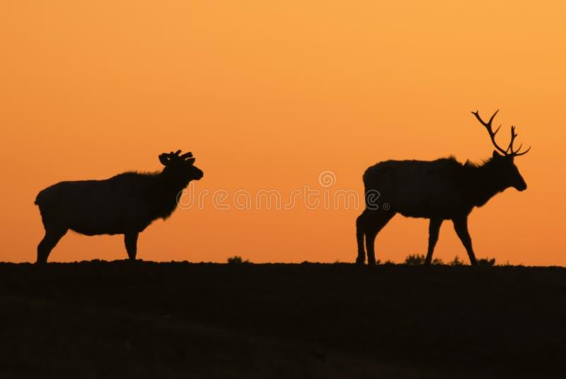 Download Elk Sunset Silhouettes stock image. Image of grazing, animal - 4892463