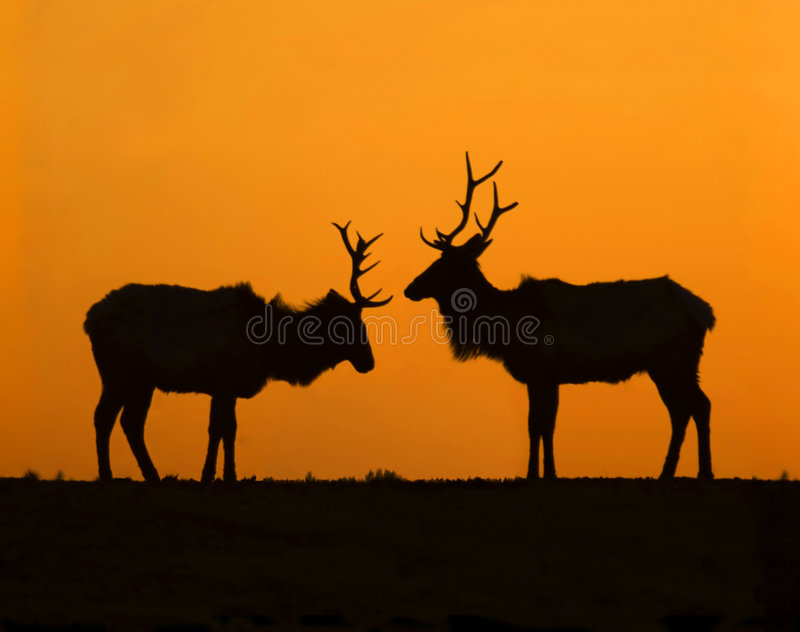 Elk Sunset Silhouettes royalty free stock photography