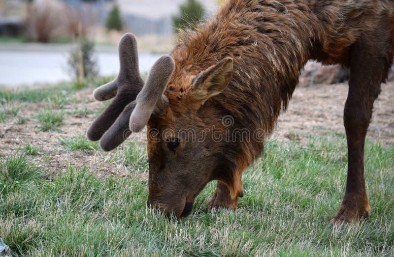 Elk with velvet antlers stock photos