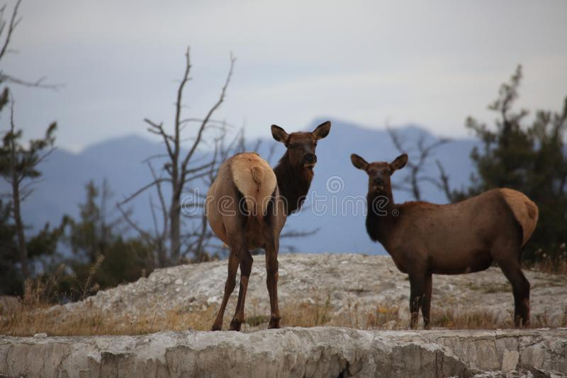 Elk (Wapiti), Cervus elephas,Mammoth Springs in Yellowstone National Park,USA. Elk (Wapiti), Cervus elephas,Mammoth Springs in Yellowstone National Park royalty free stock photo
