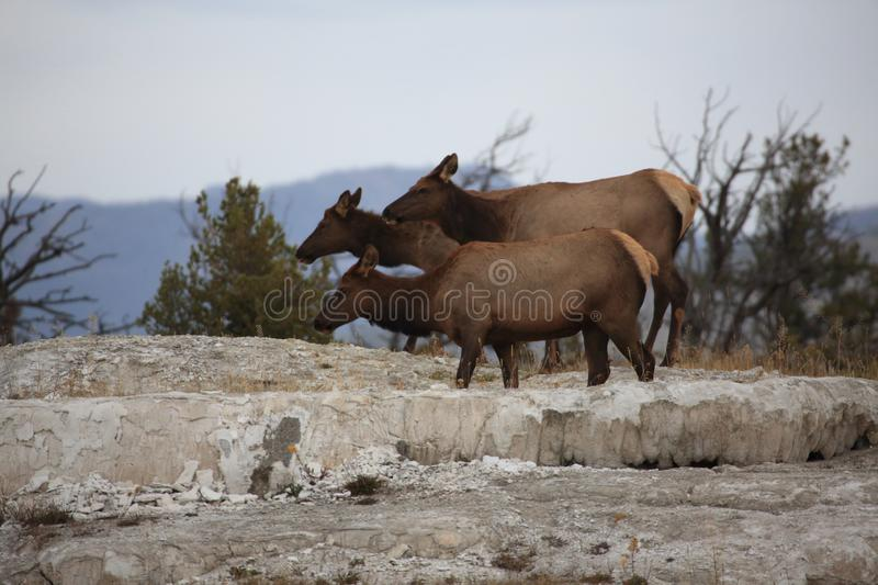 Elk (Wapiti), Cervus elephas,Mammoth Springs in Yellowstone National Park,USA. Elk (Wapiti), Cervus elephas,Mammoth Springs in Yellowstone National Park stock images