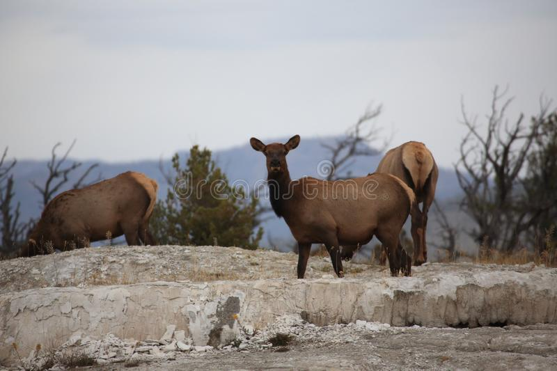 Elk (Wapiti), Cervus elephas,Mammoth Springs in Yellowstone National Park,USA. Elk (Wapiti), Cervus elephas,Mammoth Springs in Yellowstone National Park royalty free stock images