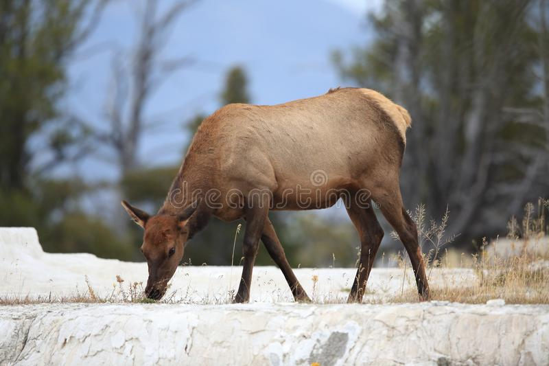 Elk (Wapiti), Cervus elephas,Mammoth Springs in Yellowstone National Park,USA. Elk (Wapiti), Cervus elephas,Mammoth Springs in Yellowstone National Park stock image