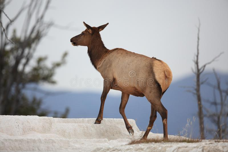 Elk (Wapiti), Cervus elephas,Mammoth Springs in Yellowstone National Park,USA. Elk (Wapiti), Cervus elephas,Mammoth Springs in Yellowstone National Park stock photography