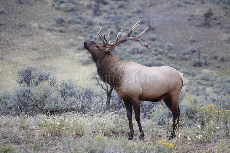 Elk (Wapiti), Cervus elephas,Mammoth Springs in Yellowstone National Park,USA. Elk (Wapiti), Cervus elephas,Mammoth Springs in Yellowstone National Park stock photos