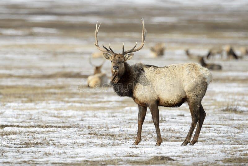 Elk or Wapiti in winter royalty free stock images