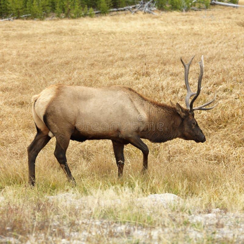 Elk in Yellowstone royalty free stock photos