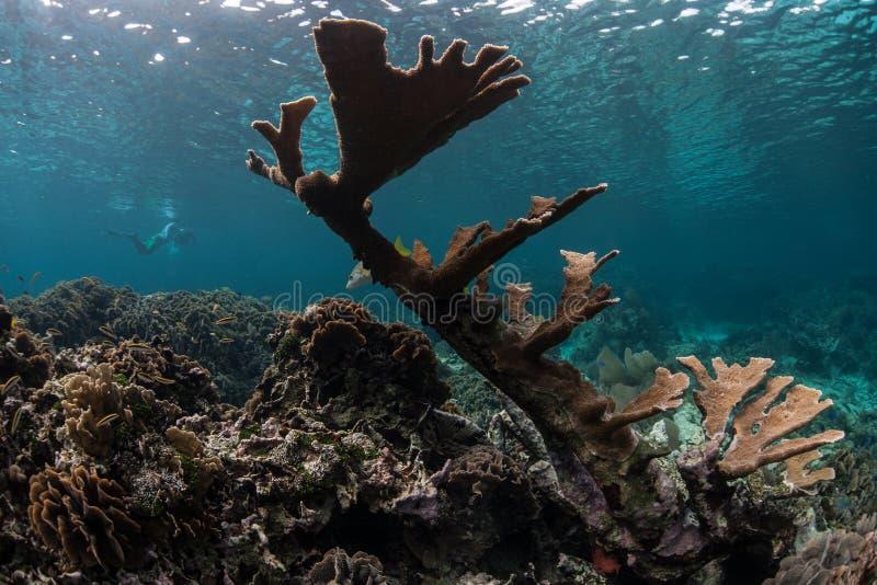 Elkhorn Coral Colony in mar dei Caraibi immagine stock libera da diritti