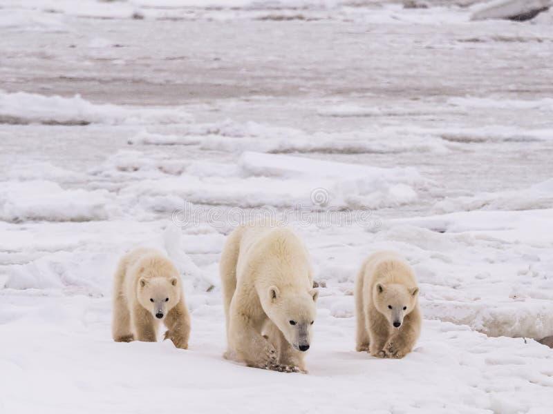 Ella-oso polar con los cachorros imagen de archivo