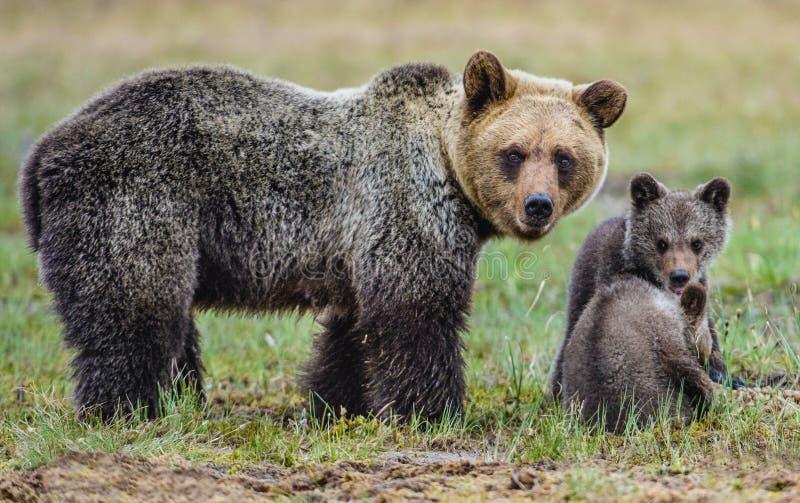 Ella-oso y Cubs foto de archivo libre de regalías