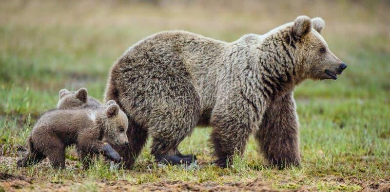 Ella-oso y Cubs imagenes de archivo