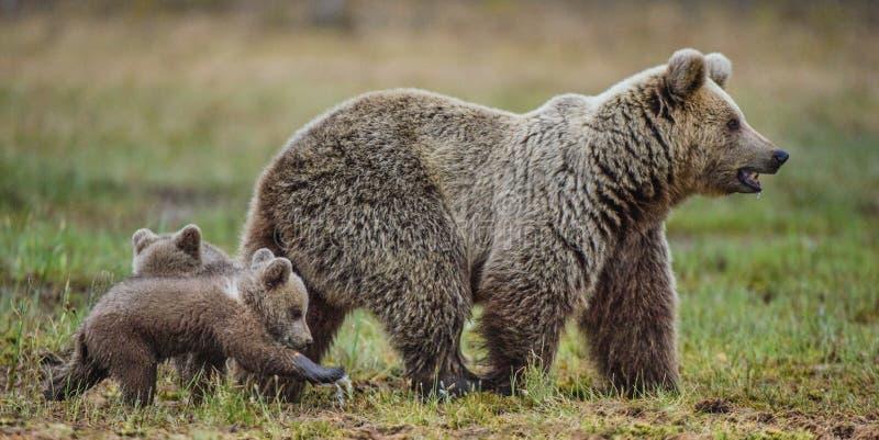 Ella-oso y Cubs fotos de archivo